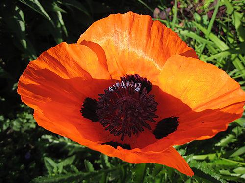 Poppy1189
