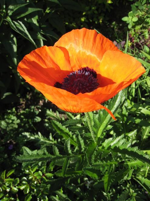 Poppy1187