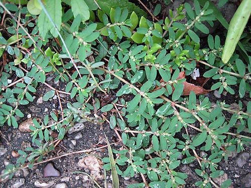 Weedspurge2742