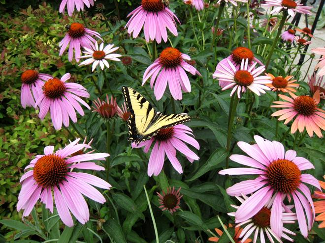 Tigerswallowtail2644