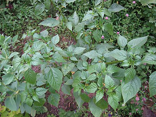 Tomatillo2565