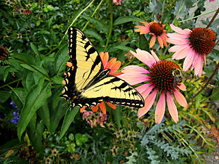 Tigerswallowtail2642