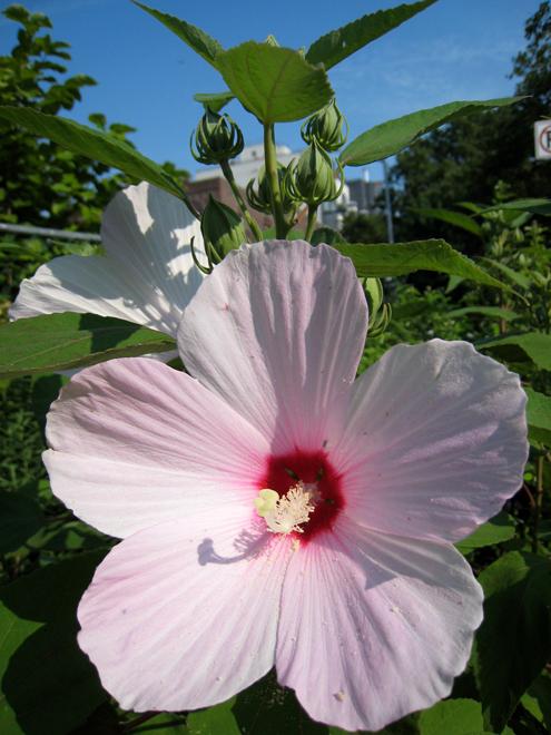 Hibiscus3141