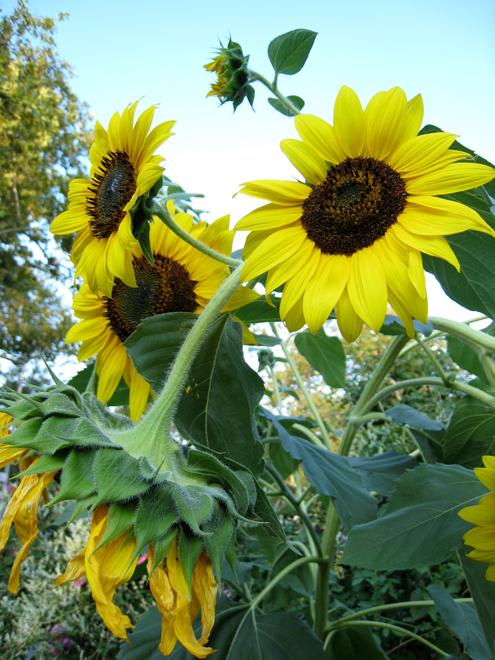 Sunflower4012
