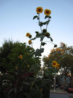 Sunflower3941