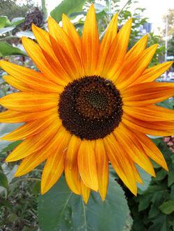 Sunflower4017