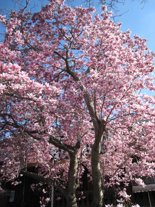 Magnolia6311