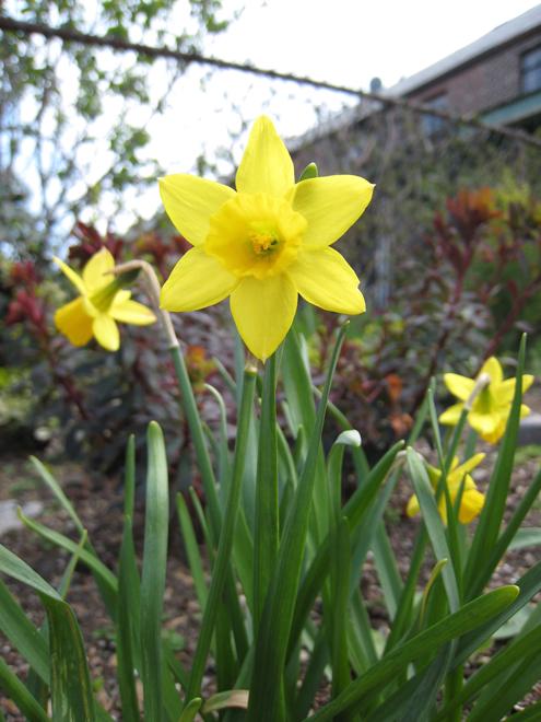 Narcissus6338