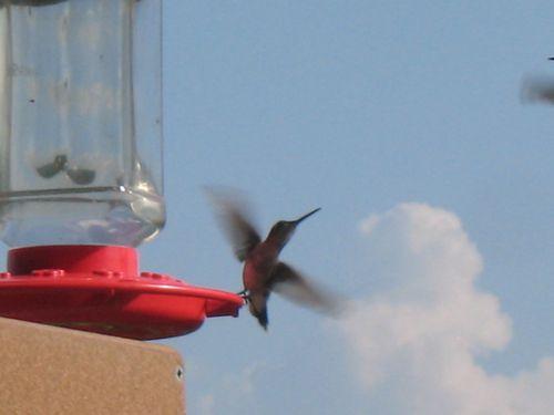 Humingbird_1688