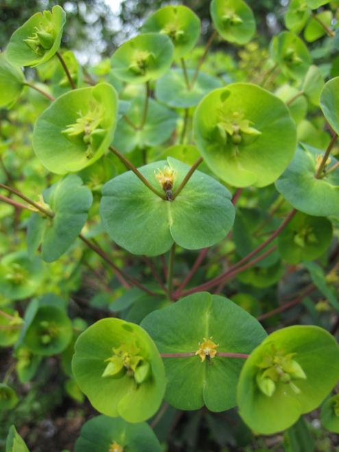 Euphorbia6678