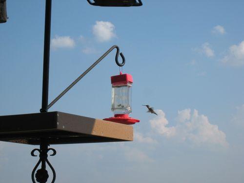 Humingbird_1685