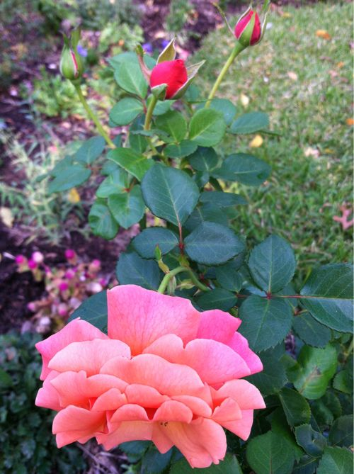 Late fall roses