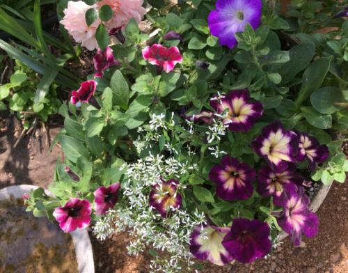 Petunias_3945