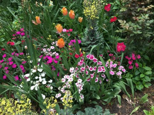 Tulip dianthus_4007