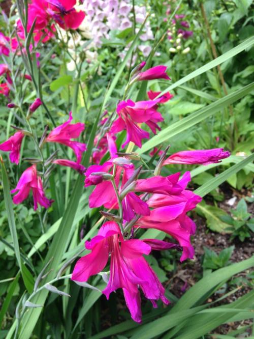 Gladiolus2016-04-2415.03.17