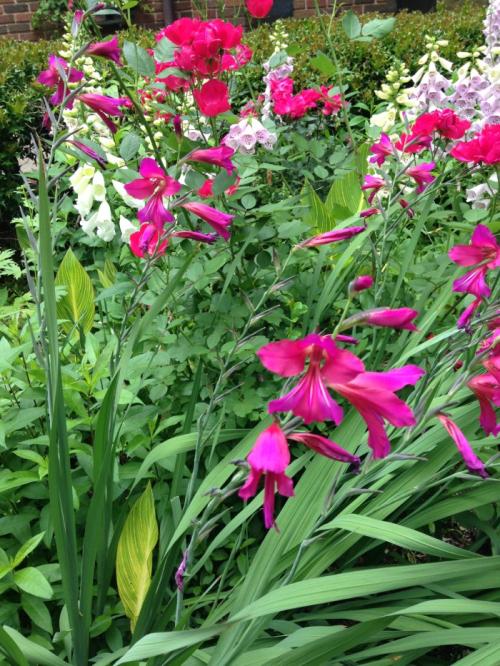 Gladiolus2016-04-2415.03.01