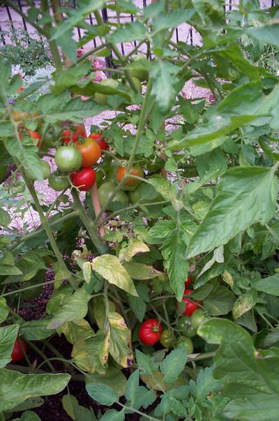 Tomato3958