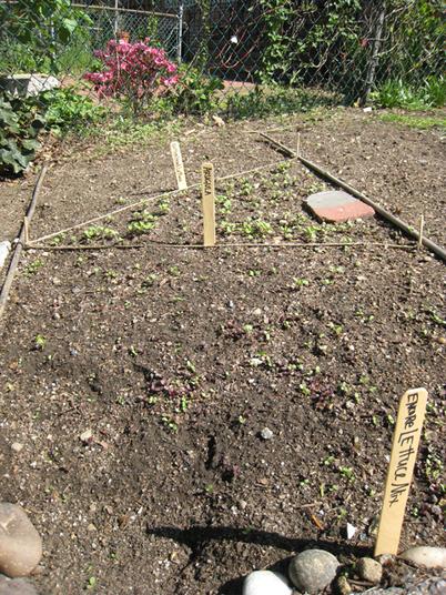 Lettuce0753