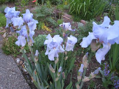 Iris0976
