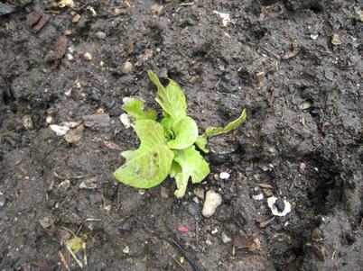 Lettuce1447