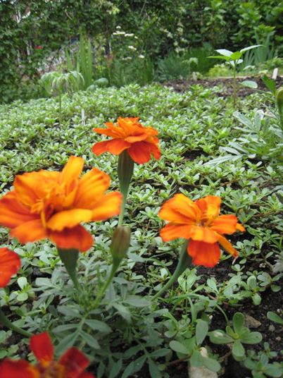 Marigolds1471