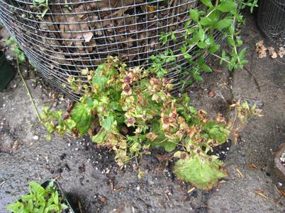 Calceolaria1464