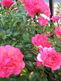 Roses1612