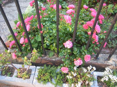 Roses1615