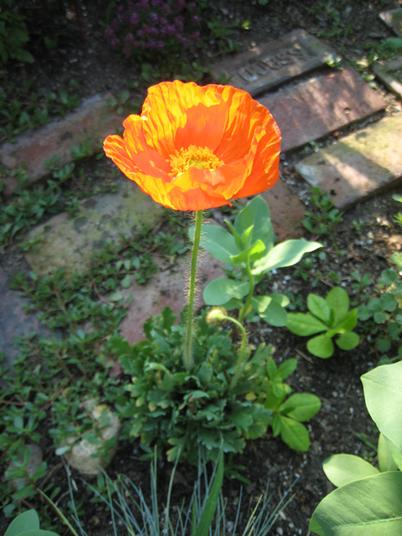 Poppy1827