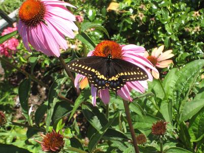 Swallowtail2079