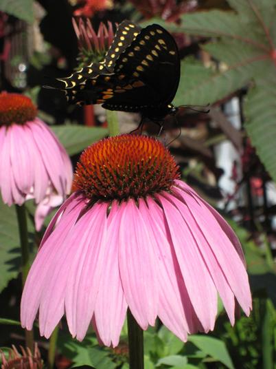 Swallowtail2109