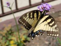 Tigerswtail2236