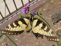 Tigerswtail2243