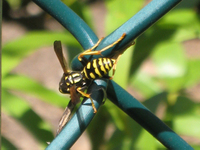 Wasp2334