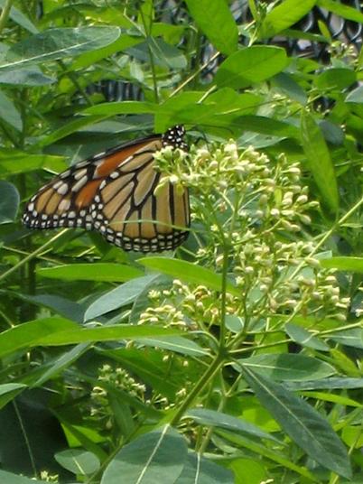 Monarch2649