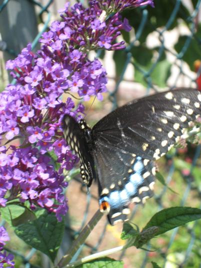 Swallowtail2652