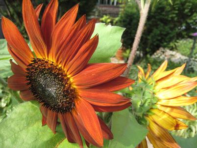 Sunflower3788