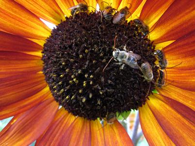 Sunflower3996