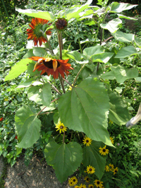 Sunflowers3749