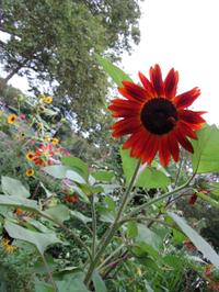 Sunflowers4352