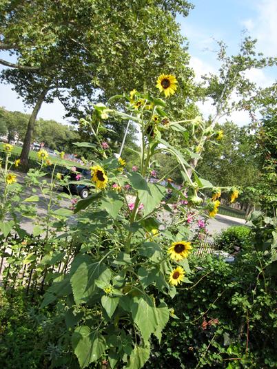 Sunflowers4417