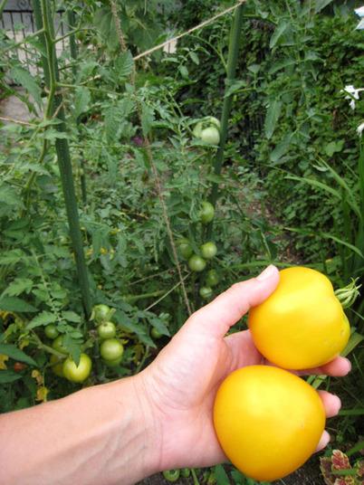 Tomatoes4270