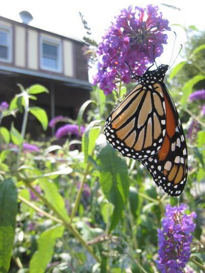 Monarch4591