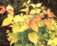 Leycesteria_golden_lanterns_jpeg