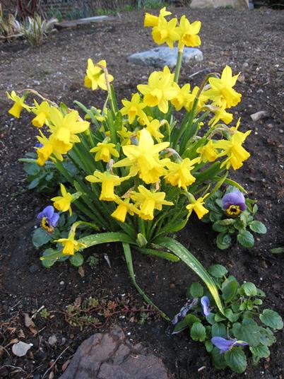 Daffodils9941