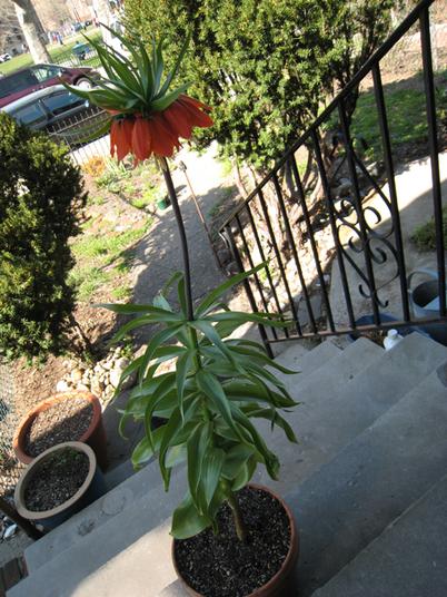 Fritillaria07_0423