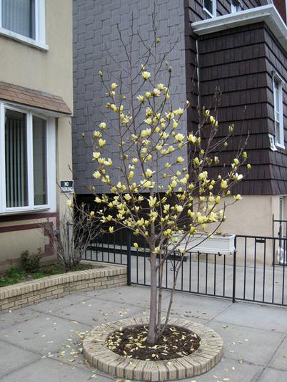 Magnolia0076