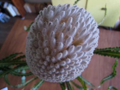 Banksia0659
