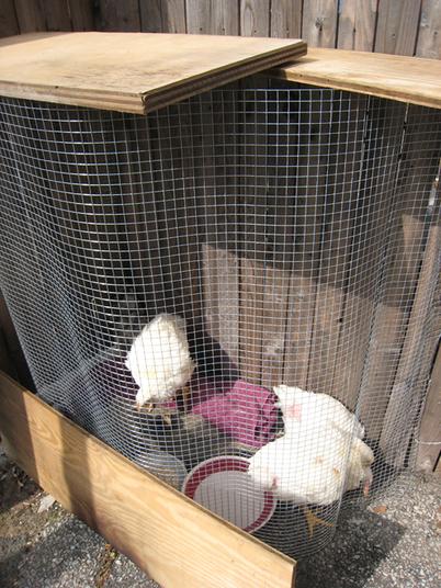 Chickens0670