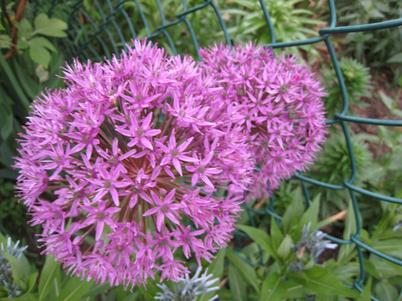 Allium1026